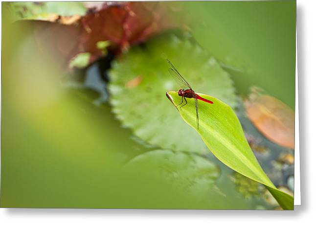 Isolated On Blue Background Greeting Cards - Red dragonfly Greeting Card by Ulrich Schade