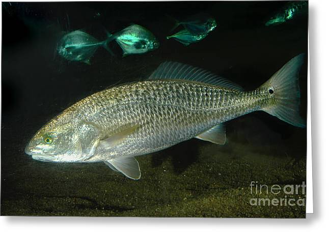 Aquarium Fish Greeting Cards - Red Drum Greeting Card by Gregory G. Dimijian