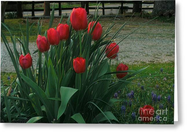 Red And Green Photographs Greeting Cards - Red Dynasty Red Tulips Greeting Card by Kip DeVore
