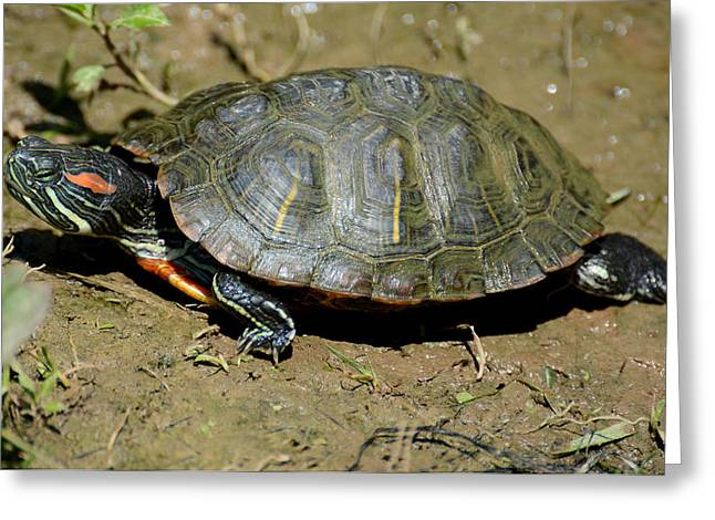 Red-eared Greeting Cards - Red Ear Slider Greeting Card by Todd Hostetter
