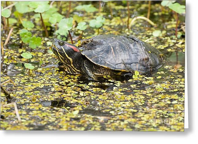 Red-eared Greeting Cards - Red-eared Pond Slider Greeting Card by William H. Mullins