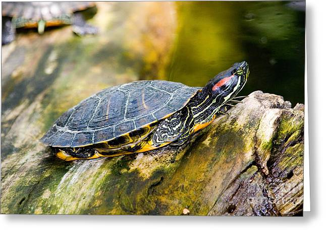Red-eared Greeting Cards - Red-eared Slider Trachemys Scripta Greeting Card by Gregory G. Dimijian