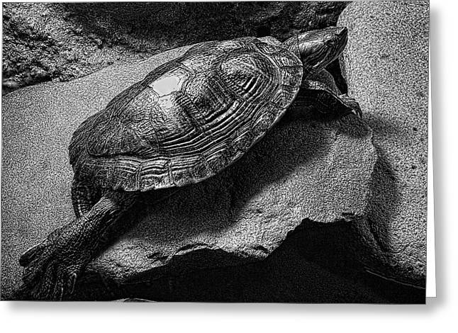 Dime Store Greeting Cards - Red-eared Slider Turtle Greeting Card by Daniel Hagerman