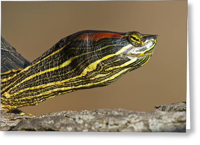 Red-eared Greeting Cards - Red-eared Slider Turtle Greeting Card by Steve Gettle