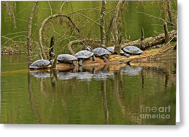 Slider Photographs Greeting Cards - Red Eared Slider Turtles 2 Greeting Card by Sharon  Talson