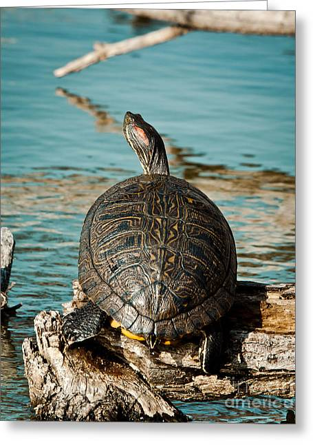 Slider Greeting Cards - Red Eared Slider XXL Greeting Card by Robert Frederick
