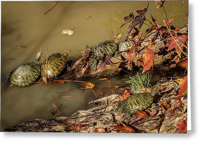 Wood Turtle Greeting Cards - Red Eared Sliders Greeting Card by Mountain Dreams