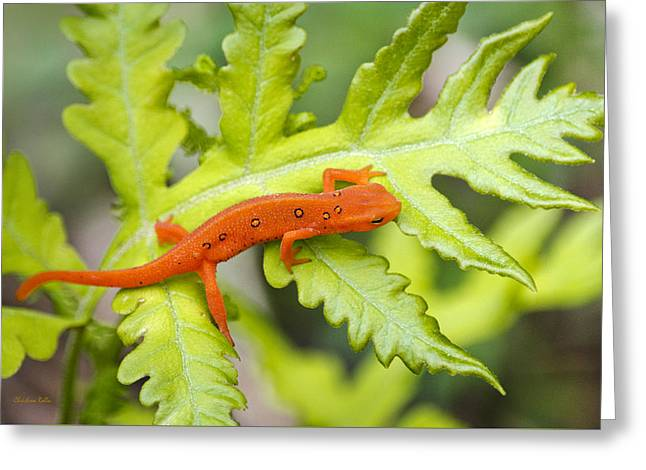 Aquatic Greeting Cards - Red Eft Eastern Newt Greeting Card by Christina Rollo