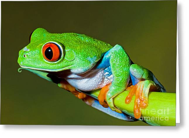 Red Eyed Leaf Frog Greeting Cards - Red Eye Tree Frog Greeting Card by Millard H Sharp