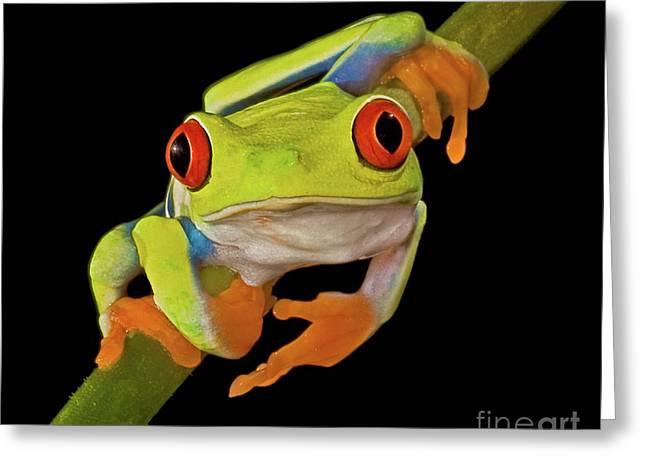 Tree Frog Greeting Cards - Red Eye Tree Frog Greeting Card by Susan Candelario