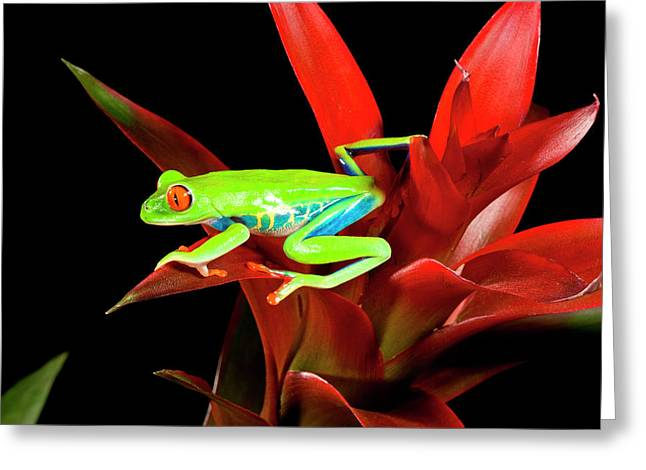 Red Eye Treefrog, Agalychnis Greeting Card by David Northcott