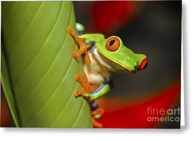 Red Eyed Leaf Frog Greeting Card by Bob Hislop