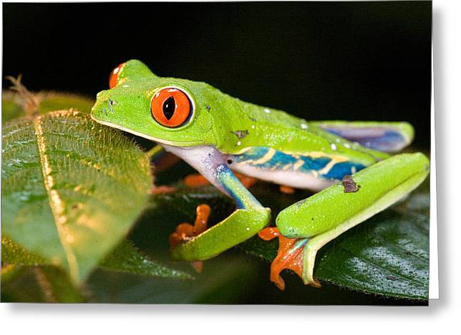 Red Eyed Leaf Frog Greeting Cards - Red-eyed Tree Frog Agalychnis Greeting Card by Panoramic Images