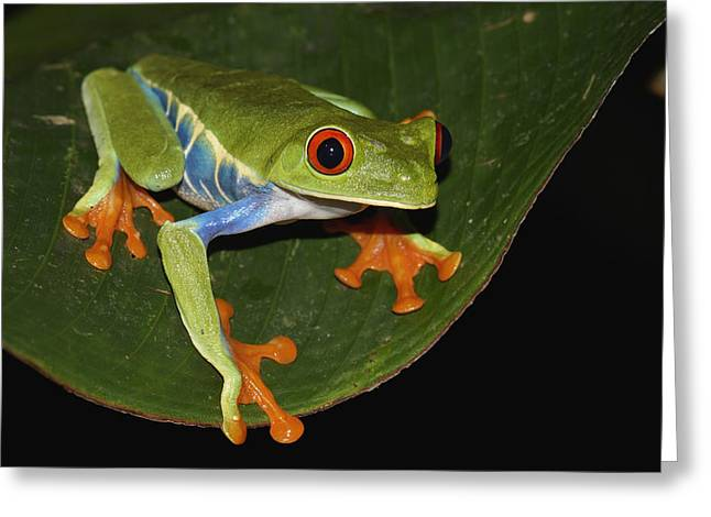 Red Eyed Leaf Frog Greeting Cards - Red-eyed Tree Frog Costa Rica Greeting Card by Hiroya  Minakuchi