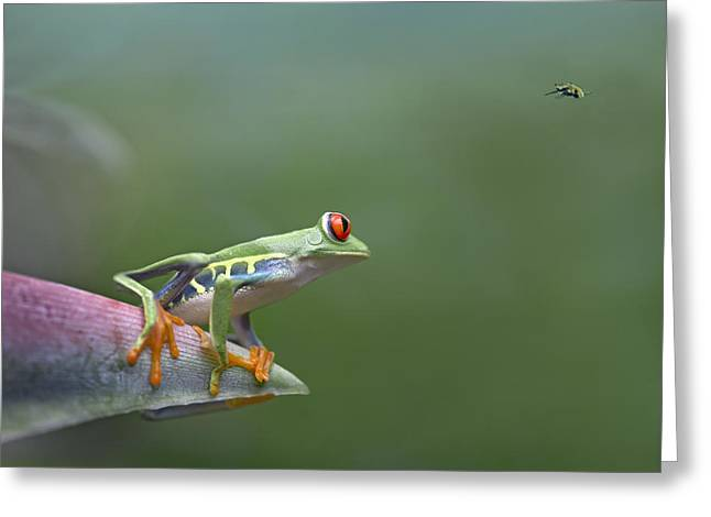 Red Eyed Leaf Frog Greeting Cards - Red-eyed Tree Frog Eyeing Bee Fly Greeting Card by Tim Fitzharris
