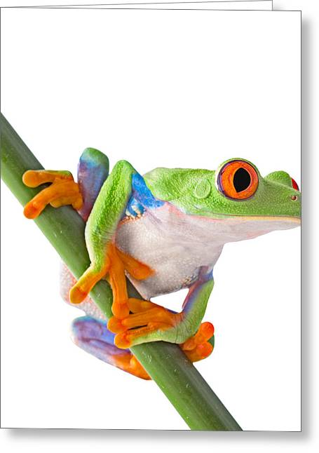 Aye Greeting Cards - Red Eyed Tree Frog Isolated Greeting Card by Dirk Ercken