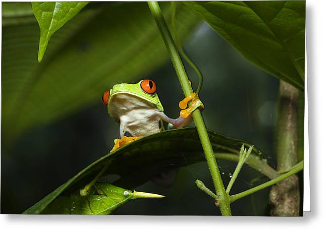 Red Eyed Leaf Frog Greeting Cards - Red-eyed Tree Frog On Leaf Costa Rica Greeting Card by Konrad Wothe