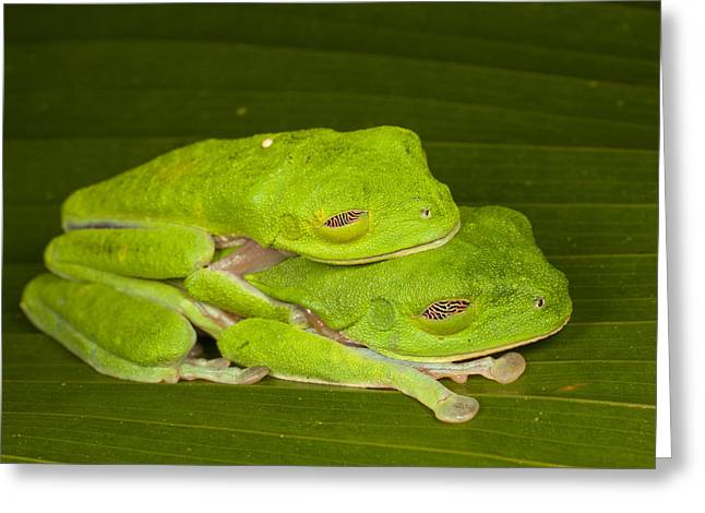 Red Eyed Leaf Frog Greeting Cards - Red-eyed Tree Frogs In Amplexus Sleeping Greeting Card by Ingo Arndt