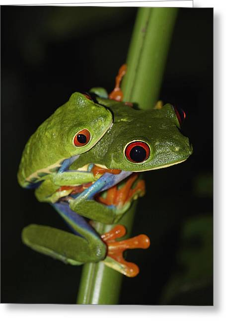 Red Eyed Leaf Frog Greeting Cards - Red-eyed Tree Frogs Mating Costa Rica Greeting Card by Hiroya  Minakuchi