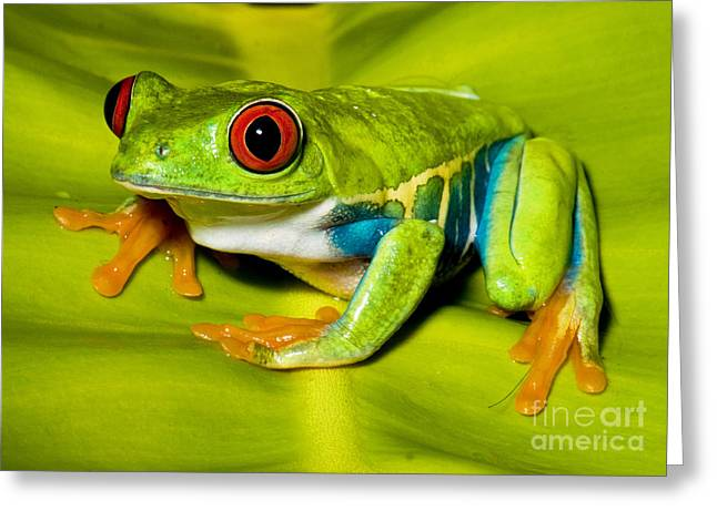 Red Eyed Leaf Frog Greeting Cards - Red-eyed Treefrog Greeting Card by Millard H. Sharp