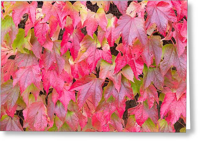 Woody Vine Greeting Cards - Red Fall Greeting Card by Semmick Photo