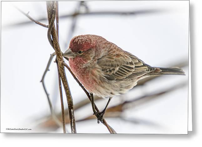 Finch Greeting Cards - Red Finch Greeting Card by LeeAnn McLaneGoetz McLaneGoetzStudioLLCcom