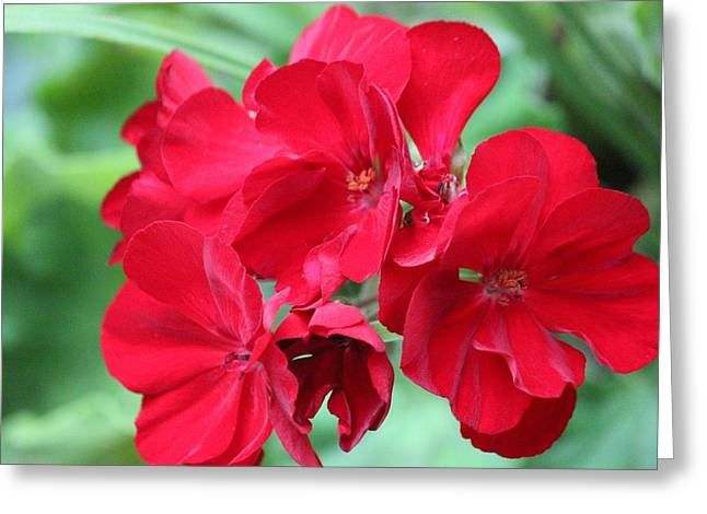 Red Geraniums Greeting Cards - Red Floral Geraniums Greeting Card by Sue Chisholm