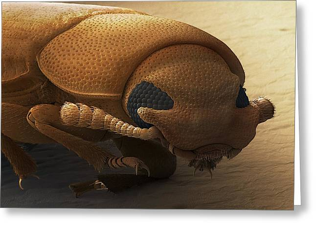 Flour Greeting Cards - Red Flour Beetle, Sem Greeting Card by Power And Syred