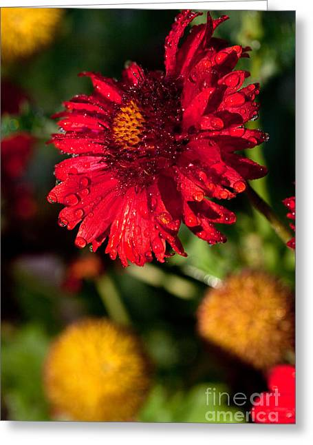 Vertical Greeting Cards - Red Flower and Yellow Pom Poms Greeting Card by Cindy Singleton