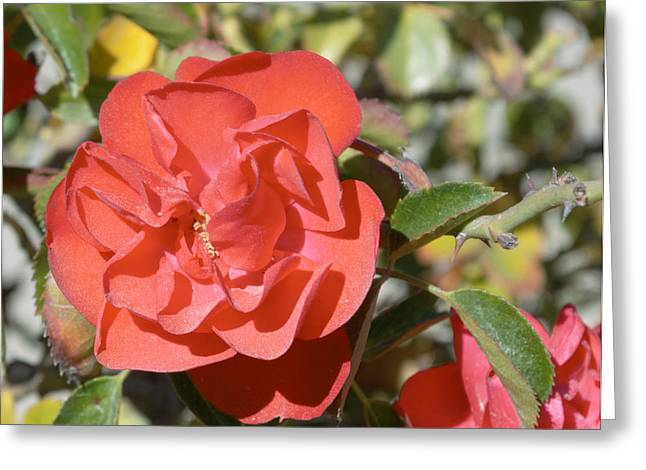 In Full Bloom Greeting Cards - Red Flower III Greeting Card by Barbara Snyder