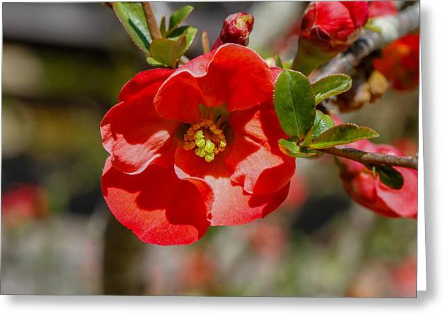 Red Flower Greeting Card by Robert Hebert