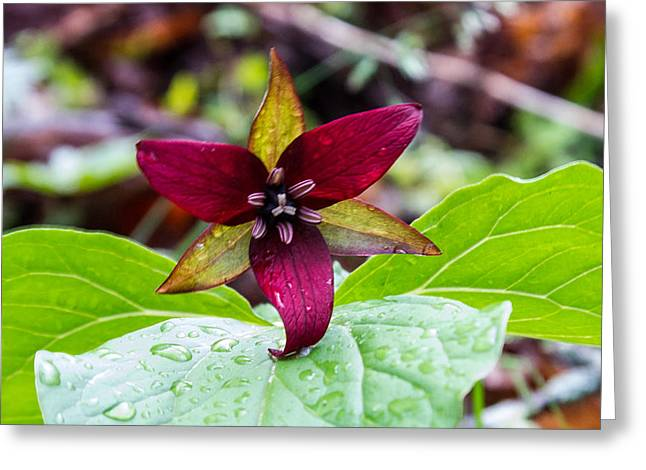 Monocot Greeting Cards - Red Flowered Trillium Greeting Card by Douglas Barnett