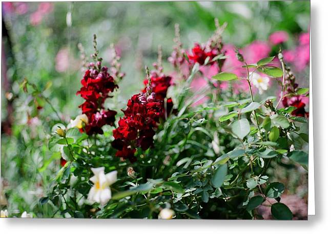 Garden Scene Greeting Cards - Red Flowers on Film Greeting Card by Linda Unger