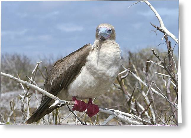 Bush Wildlife Greeting Cards - Red-footed booby Greeting Card by Science Photo Library