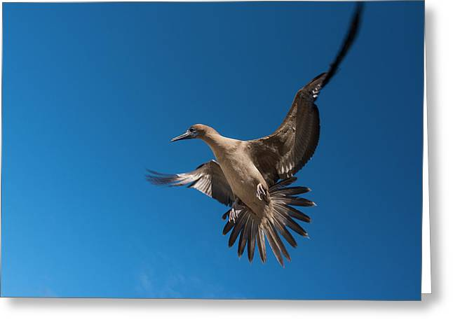Red-footed Booby (sula Sula Websteri Greeting Card by Pete Oxford