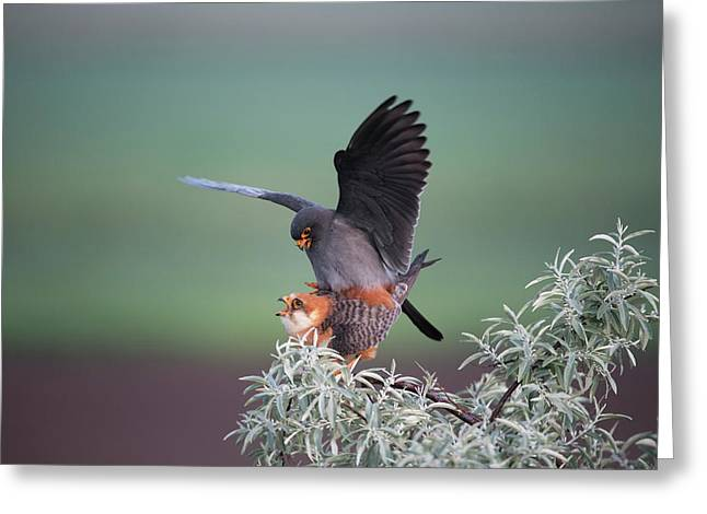 Red-footed Falcons Mating Greeting Card by Dr P. Marazzi