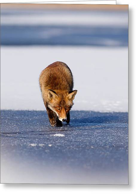 Dog Walking Greeting Cards - Red fox crossing a frozen lake Greeting Card by Roeselien Raimond
