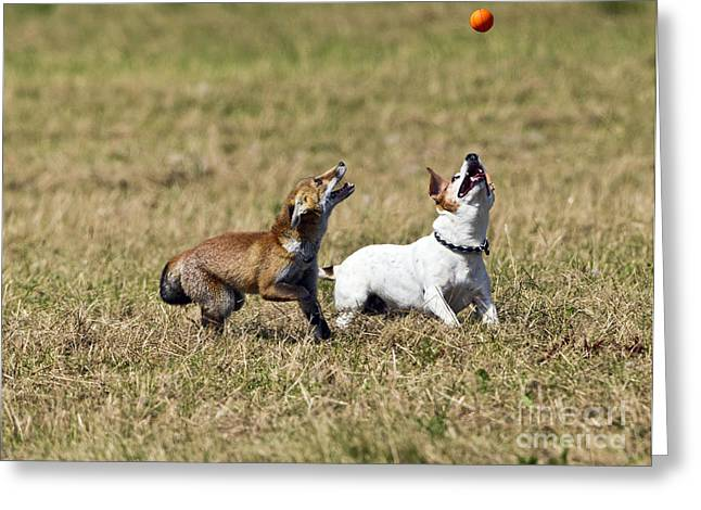 Dog Playing Ball Greeting Cards - Red Fox Cub And Jack Russell Playing Greeting Card by Brian Bevan
