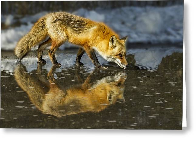 Foxes Greeting Cards - Red Fox Has A Drink Greeting Card by Susan Candelario