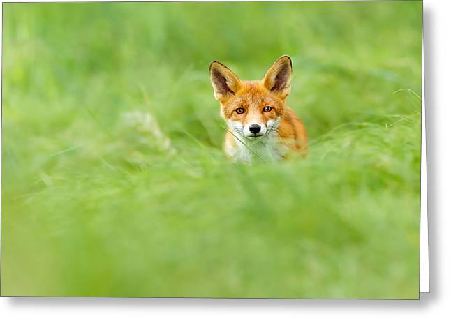 Vulpes Greeting Cards - Red Fox in a Sea of Green Greeting Card by Roeselien Raimond