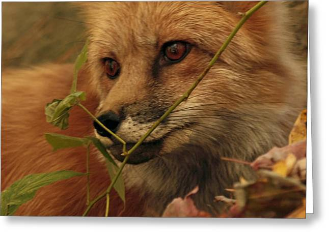 Red Fox in Autumn Leaves Stalking Prey Greeting Card by Inspired Nature Photography By Shelley Myke