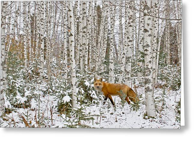 Winter In Maine Greeting Cards - Red Fox in Birches Greeting Card by Jack Zievis