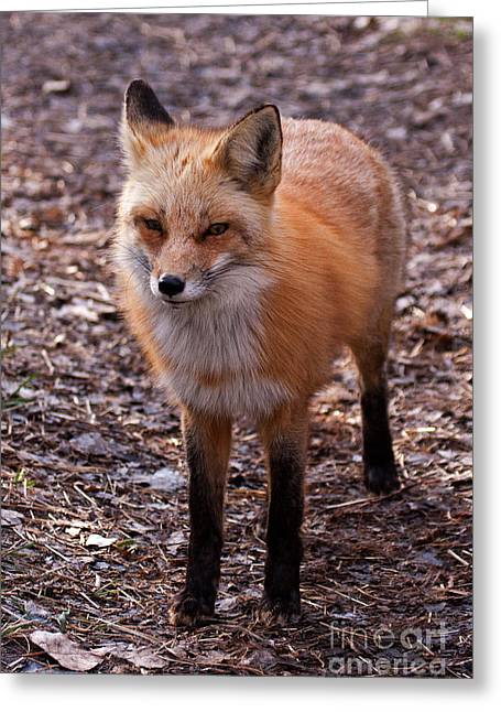 Prospects Greeting Cards - Red Fox in Prospect Park Greeting Card by Fred Stearns