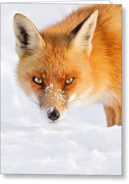 Red Eye Greeting Cards - Red Fox in the Snow Greeting Card by Roeselien Raimond