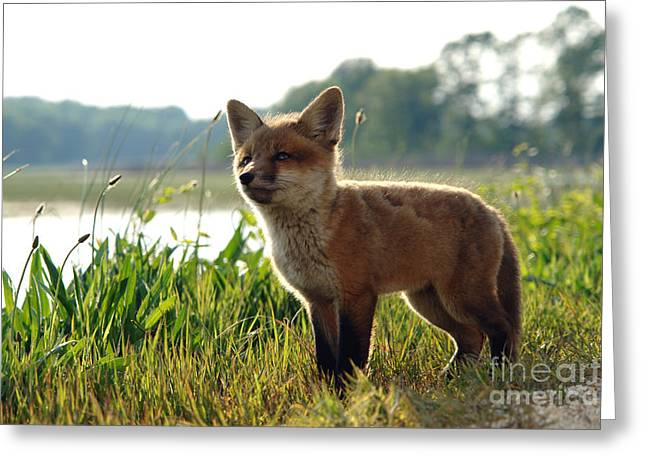 Fox Kit Greeting Cards - Red Fox Kit Greeting Card by Olivier Le Queinec