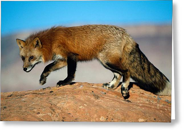 Clarity Greeting Cards - Red Fox On Hilltop Greeting Card by Panoramic Images