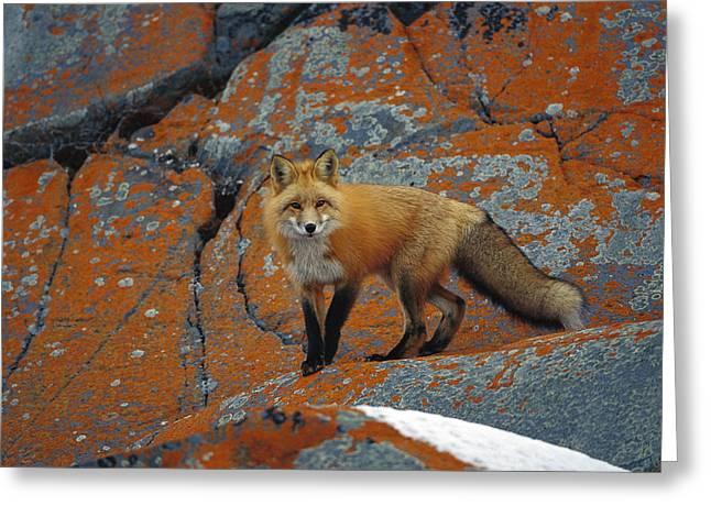 Lichen Photo Greeting Cards - Red Fox On Rocks With Orange Lichen Greeting Card by Konrad Wothe