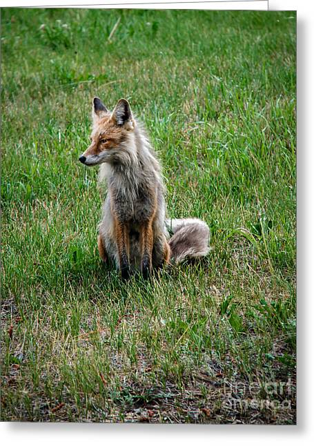 Bushy Tail Greeting Cards - Red Fox Portrait Greeting Card by Robert Bales