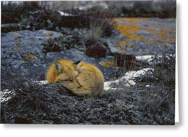 Lichen Photo Greeting Cards - Red Fox Sleeping On Lichen Covered Rock Greeting Card by Konrad Wothe