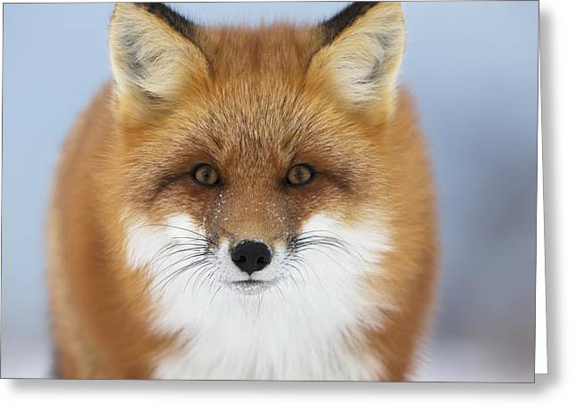 Red Fox Staring At The Camerachurchill Greeting Card by Robert Postma